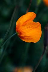 A note from the Human (Fardo.D) Tags: agfa vista 100 poppy orange