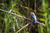 Kingfisher (Wessel...) Tags: canon ijsvogel kingfisher kralingen kralingseplas nederland netherlands rotterdam