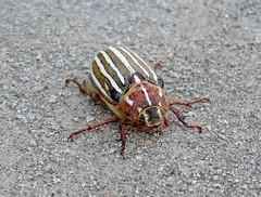 Ten-lined scarab beetle (RebelRob) Tags: vacation insect britishcolumbia beetle scarabbeetle polyphylladecemlineata secheltbc