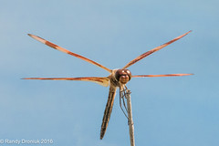 A perfect day for hanging out (rdroniuk) Tags: dragonfly insects dragonflies odonata halloweenpennant halloweenpennantdragonfly halloweenpennantmale celithemiseponina insectes libellules clithmegante dragonfliesofontario