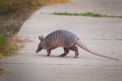 Mr Armadillo crossing the road (jianguo.fan) Tags: wildlife armadillo pentaxk5 da300mmf4