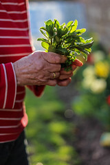 grandma (annkathrinxx) Tags: canon eos 700d raspberrysorbet annkathrinxx herbs kruter pfefferminze grandma oma hands spring