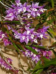Dendrobium hercoglossum 1-1 species orchid (nolehace) Tags: dendrobium hercoglossum species orchid 716 summer nolehace sanfrancisco fz1000 flower bloom plant