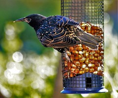 Curious starling (dlanor smada) Tags: starlings feeders birds peanuts