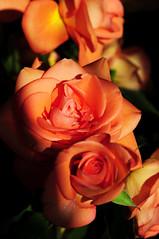 DSC_5513 (PeaTJay) Tags: nikond300s sigma reading lowerearley berkshire macro micro closeups gardens indoors nature flora fauna plants flowers rose roses rosebuds