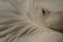 Pelikaan (Jan de Neijs Photography) Tags: pelican pelikaan ouwehands ouwehandsdierenpark zoo dierentuin tamron tamron150600 rhenen