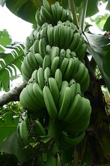 (lulun & kame) Tags:   fruits soufriere  america dominica  lumixg20f17