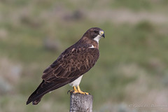 Swainson's Hawk (Turk Images) Tags: buteoswainsoni lakenewell swainsonshawk accipitridae alberta birds brooks buteos hawks swha migration prairies spring