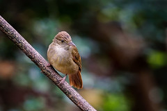 Grey-eyed Bulbul (arnewuensche66) Tags: greyeyedbulbul bulbul birds animals wildlife fauna avifauna nature tier vgel grauaugenblbl iolepropinqua
