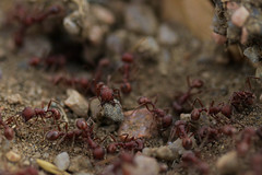 Busy Anthill (Uncharted Sights) Tags: macro portrait person people face head photo shoot outdoors nature ants anthill red ant kayli beauty gorgeous lady blue eyes canon 80d 60mm 28 24mm elaine t valente open space colorado
