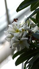 Pachypodium lamerei (Apocynaceae) (Ruissalo Botanical Garden, Turku, 20150905) (RainoL) Tags: 2015 201509 20150905 821434 apocynaceae autumn botanicalgarden egentligafinland fin finland flower flowers garden geo:lat=6043331362 geo:lon=2217275977 geotagged greenhouse indoors pachypodium pachypodiumlamerei plant plants ruissalo runsala september succulent turku varsinaissuomi bo ruissalobotanicgarden
