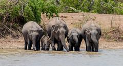 Wild Elephant Family (ShehanT) Tags: elephants wildelephantfamily wildlife wildlifephotography nature mothernature animallove animals yala yalanationalpark canoneos70d canonef70300mm lake water drinkingwater