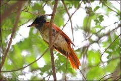 Asian Paradise Flycatcher juvenile (mihir_dhandha) Tags: asianparadiseflycatcher terpsiphoneparadisi asianparadiseflycatcherjuvenile birdphotography wildlifephotography canoneos7d canon55250 canonkitlens hingolgadh
