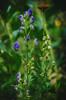 Knospender Herbst-Eisenhut, Habitus • [Aconitum carmichaelii 'Arendsii'] • monk's-hood, budding, habitus (tuvidaloca) Tags: aconitumcarmichaeliiarendsii herbsteisenhut acónitootoño sturmhut akonit wolfswurz wolfsbane monkshood wald waldrand forest bosque lindedelbosque grün green verde purple violett violado violeta dof bokeh desenfoqueparcial desenfoque herbst autumn otoño pflanze heilpflanze heilkraut extremgiftig ¡muytóxico toxical