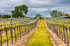 Vineyard In The Spring (Mimi Ditchie) Tags: wine4paws vineyard spring vines rows cloudy getty gettyimages mimiditchie mimiditchiephotography explore inexplore