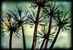 oddballs (Noel Leone--my reality in and out of focus) Tags: driedflowers agapanthus stems backlit bokeh inthewindow endofsummer
