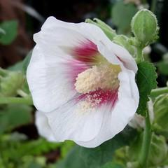 Softly spoken (Hollyhock) (gomosh2) Tags: hollyhockflower whiteflower