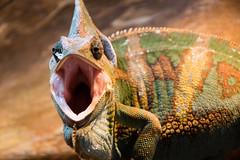 Get away! (Pter_Szab) Tags: veiled chameleon veiledchameleon angry