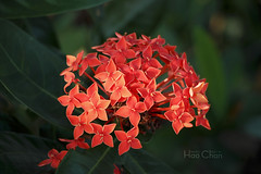 Fiery flowers (Hao Chan Time Sample Studio) Tags: nature flower red hot macro canon bokeh afternoon