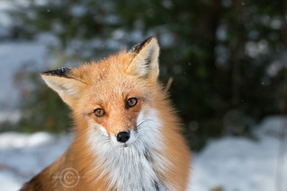 Soulful eyes of the Red Fox