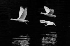 untitled 1931 (robwiddowson) Tags: geese white bird birds animal animals nature wildlife blackandwhite photo photograph photography image picture robertwiddowson