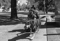 Urban Sled Dog (STERLINGDAVISPHOTO) Tags: streetphotography losangeles livingonthestreets urbansleddog echo therealmccoy blackandwhite dtla downtownlosangeles bunkerhill sonya7rii