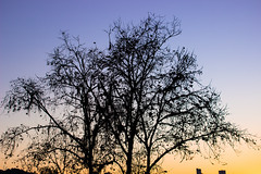 silhouette tree. (Larissa Cadorin) Tags: silhouette trees sunset santacatarina dusk sun sunlight gradient nature natural natur naturalgradient leaves fun