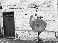 Visitor plant (HSOBERON) Tags: flower ipone iphonese hsoberon endor norebos endorinc hernansoberon flor blancoynegro pared texturas rosa