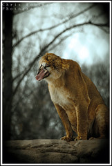 F e r o c i o u s  Y a w n (Chris Robinson Photography) Tags: texture rocks sleepy spots tired deadly yawning ferocious zoomlens thezoo fure rochesternewyork meateater femalelion senecaparkzoo ef70300mm triptothezoo
