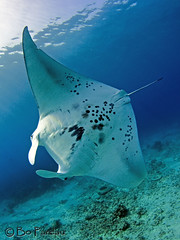 Amanda Ray (explored) (bodiver) Tags: hawaii ray ambientlight freediving fins mantaray kailua overtheshot