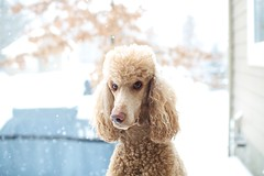 Snowed in (Perry McKenna) Tags: snow poodle cooper day39 standardpoodle apricotpoodle redpoodle day39365 3652013 365the2013edition 08feb13