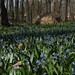 Bluebell (Scilla Siberica or Scilla bifolia)   Escila,  familia Liliaceae (Lirio)