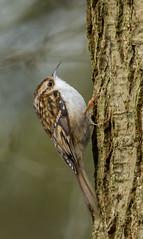 PL1D2104 Treecreeper (Certhia familiaris) Whitacre Heath, Warwickshire 06 Feb 2013 (Lathers) Tags: birds february warwickshire certhiafamiliaris treecreeper 2013 warwickshirewildlifetrust canon1dmarkiv whitacreheath canonef500f4lisusm wkwt