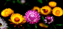 Standing Out - Explored! (@mons.always) Tags: pink flowers nature flora nikon bugs ooty d90