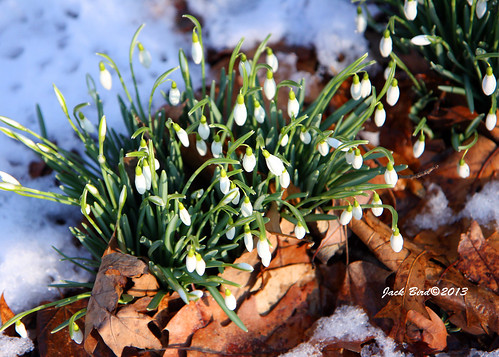 Snow Drops By Jack Bird