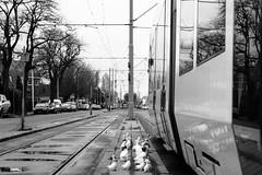 urban wildlife (jaypchances) Tags: street geese tram denhaag ganzen streetcar thehague straat laanvanmeerdervoort