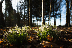 "Snow Drops at Belsay Castle Northumberland • <a style=""font-size:0.8em;"" href=""https://www.flickr.com/photos/21540187@N07/8482878874/"" target=""_blank"">View on Flickr</a>"