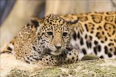 Who hath awaken me... (jfelege) Tags: stella pat bigcat milwaukee jaguar bigcats onca patthecat panthera sigma50500 milwaukeezoo milwaukeecountyzoo pantheraonca jaguarcub nikond600 flickrbigcats jaguarcubs