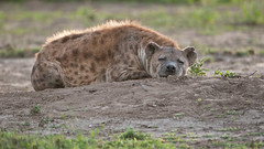 Hyena Sleeping (Raymond J Barlow) Tags: africa travel art nature animal sleep wildlife adventure hyena raymondbarlowtours