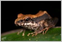 Aglyptodactylus sp ? (Thor Hakonsen) Tags: madagascar andasibe amphibia amphibium aglyptodactylus