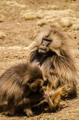 Grooming session (ViktorChenovsky) Tags: africa ethiopia geladababoon simiennationalpark simienmountain uploaded:by=flickrmobile flickriosapp:filter=nofilter