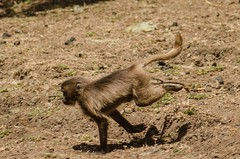 Sprint (ViktorChenovsky) Tags: africa ethiopia geladababoon simiennationalpark simienmountain uploaded:by=flickrmobile flickriosapp:filter=nofilter