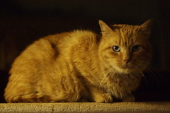 mimmo che (antonyshaw) Tags: cat 50mm prime ginger pentax stray smc k100d smc50f17a