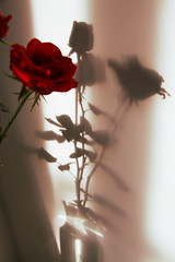Rose shadow (capriviolin77) Tags: light shadow red stilllife nature rose ombra rosa double silence rosso luce nationalgeographic riflesso doppio silenzio naturamorta
