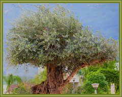 An old olive tree. (Dora-A) Tags: old trees light color tree green nature beautiful landscape photography israel daylight spring colorful mediterranean day view bright country north picture middleeast galilee scene panasonic foliage holyland hdr mideast blooming flourishing חרמון עץ doraa הזית dmcfz150 עץהזית northernkingdomofisrael