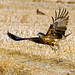 Black Kite, taking off