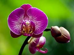Orchids Have Taken the Bronx (Eddie C3) Tags: newyorkcity orchids bronx phalaenopsis newyorkbotanicalgarden mothorchid bokehlicious enidahauptconservatory