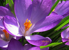A Cheerful sight (abrideu) Tags: flower macro canon ngc crocus npc abrideu fleursetpaysages