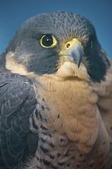 Peregrine (Feathered Trail Photos) Tags: falcon peregrine mfcc thegalaxy raptortrust fabuleuse flickrbirdbrigade buckinghamnaturephotography