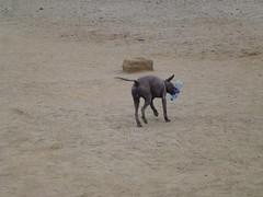 P1060714 (Stefan Peerboom) Tags: dog naked peruvian nakeddog